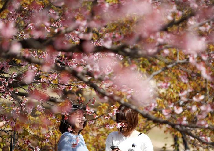 Rực rỡ mùa hoa anh đào Nhật Bản 2018