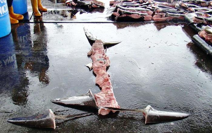 Đông, Tây đều cấm cắt vi cá mập - Ảnh 4.