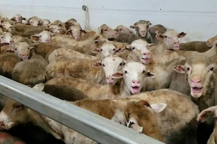Cừu xuất khẩu bị hành hạ, dân Úc phẫn nộ - Ảnh 3.