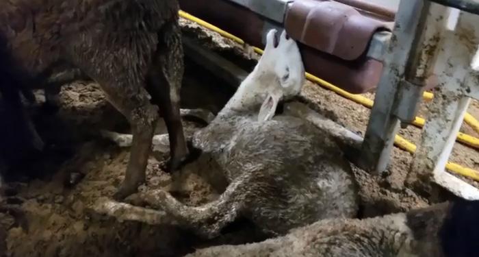 Cừu xuất khẩu bị hành hạ, dân Úc phẫn nộ - Ảnh 1.