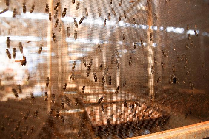 Nuôi côn trùng làm thức ăn gia súc kiếm tiền triệu ở Canada - Ảnh 1.