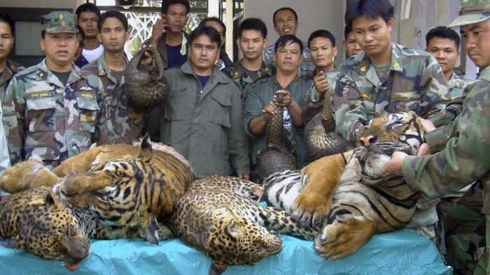 Ở Lào nuôi hổ đem bán dễ như nuôi chó - Ảnh 1.