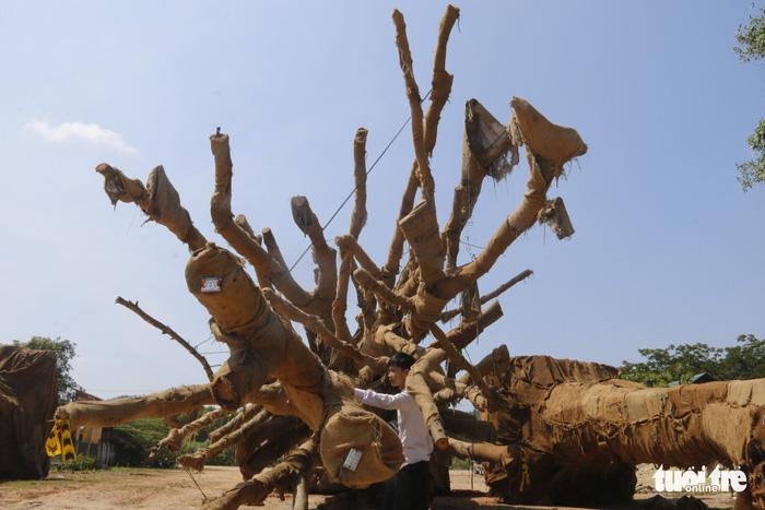 Đã có người đến nhận là chủ 3 cây siêu khủng - Ảnh 2.