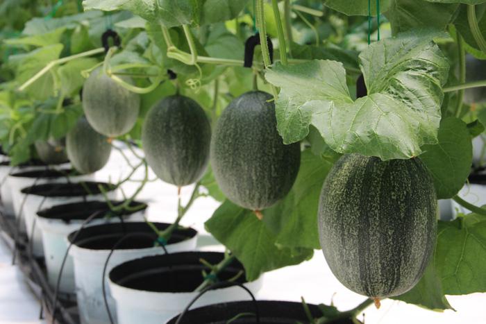 Nhà vườn trồng dưa lưới Nhật Bản của ông chủ 9x - Ảnh 1.
