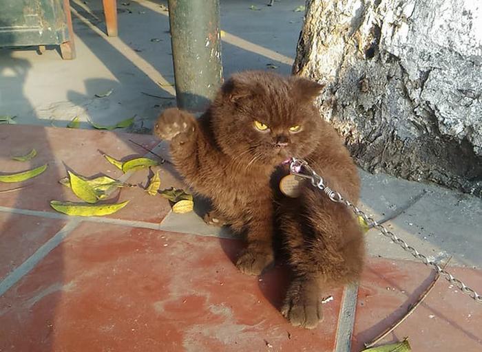 Chú mèo giúp chủ canh quán cơm để... giảm cân - Ảnh 2.