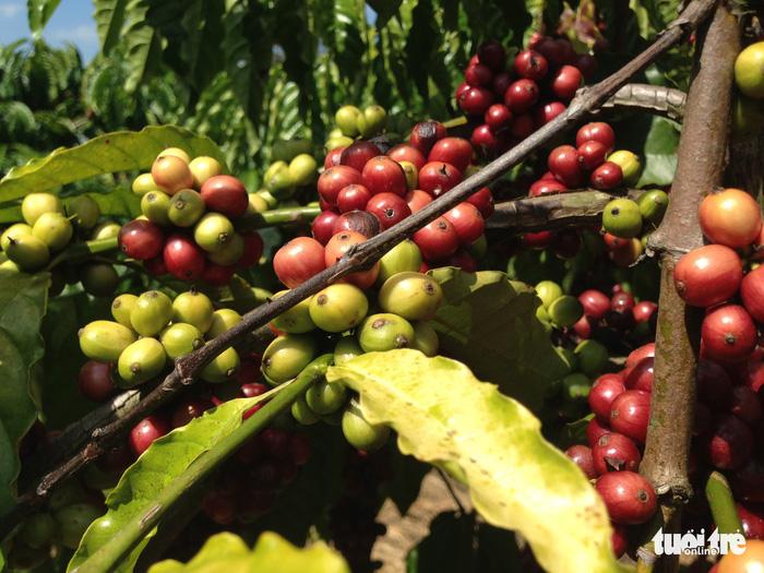 Truyền thông Đức ngạc nhiên về cuộc cách mạng cà phê ở Việt Nam - Ảnh 1.