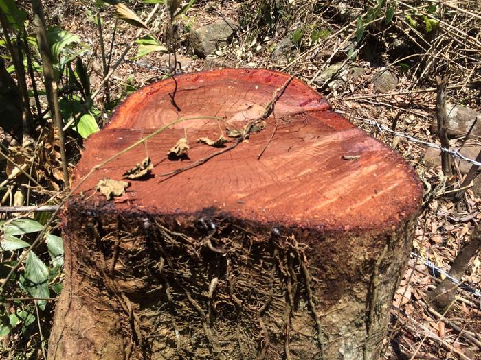 Thêm vụ phá rừng sản xuất ở Thanh Hóa - Ảnh 2.