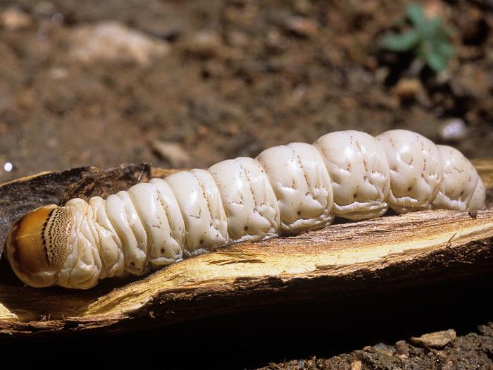 Tim rắn hổ mang còn đập vào top món ăn kinh dị nhất thế giới - Ảnh 5.