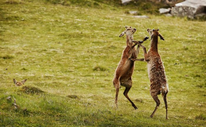 Đến đảo Scotland khám phá sự sống hươu đỏ - Ảnh 11.