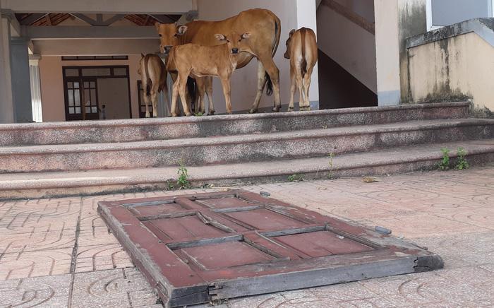 Trụ sở xã, trường học xây 33 tỉ bỏ hoang cho... bò trú nắng - Ảnh 4.