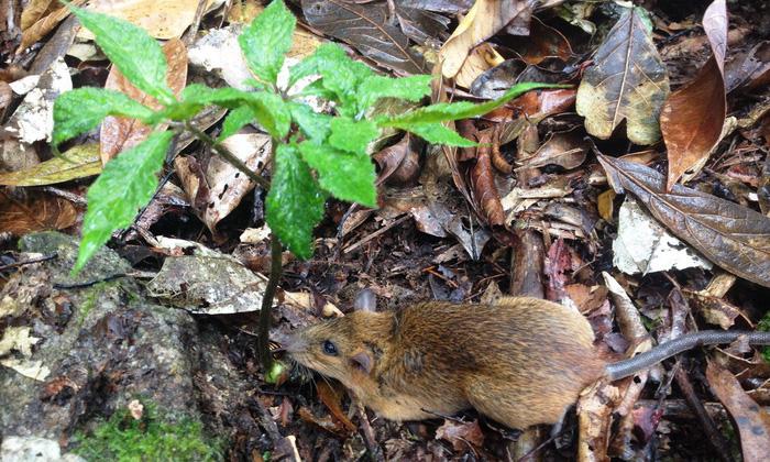 Khi kẻ trộm sâm Ngọc Linh là... chuột - Ảnh 3.