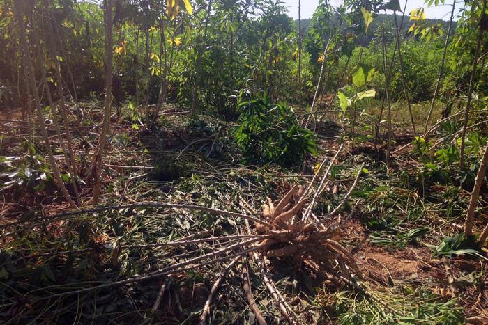 Voi rừng lại ra phá hoại hoa màu ở Đồng Nai - Ảnh 4.