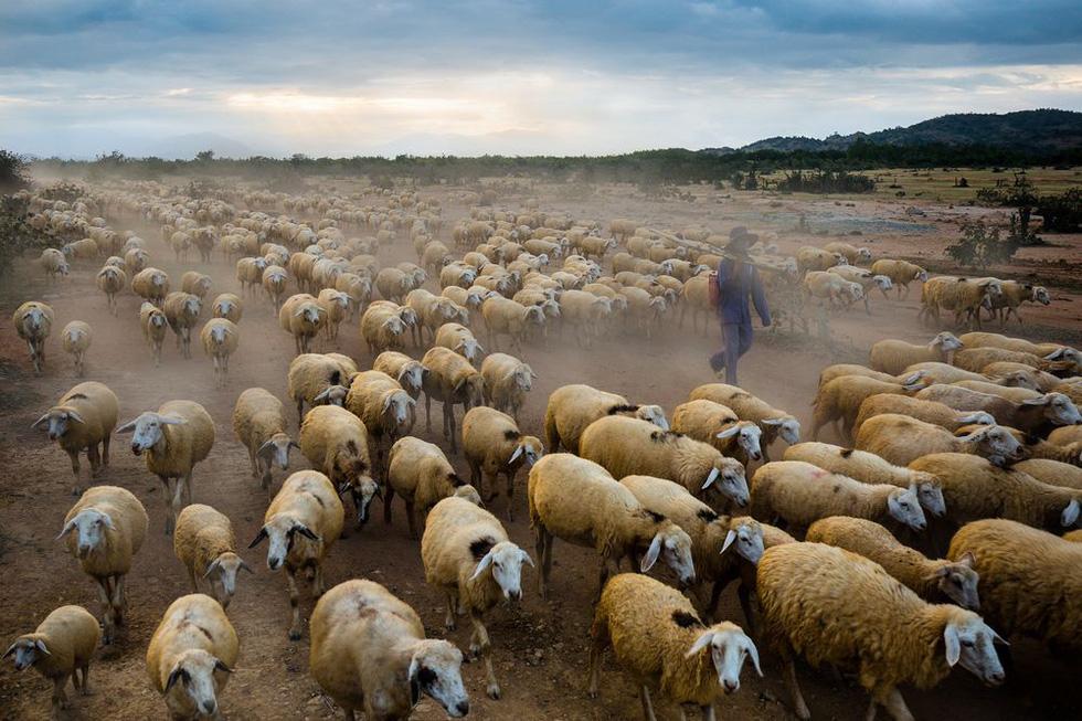 Đàn cừu Ninh Thuận vào top ảnh đẹp của tạp chí NatGeo - Ảnh 1.