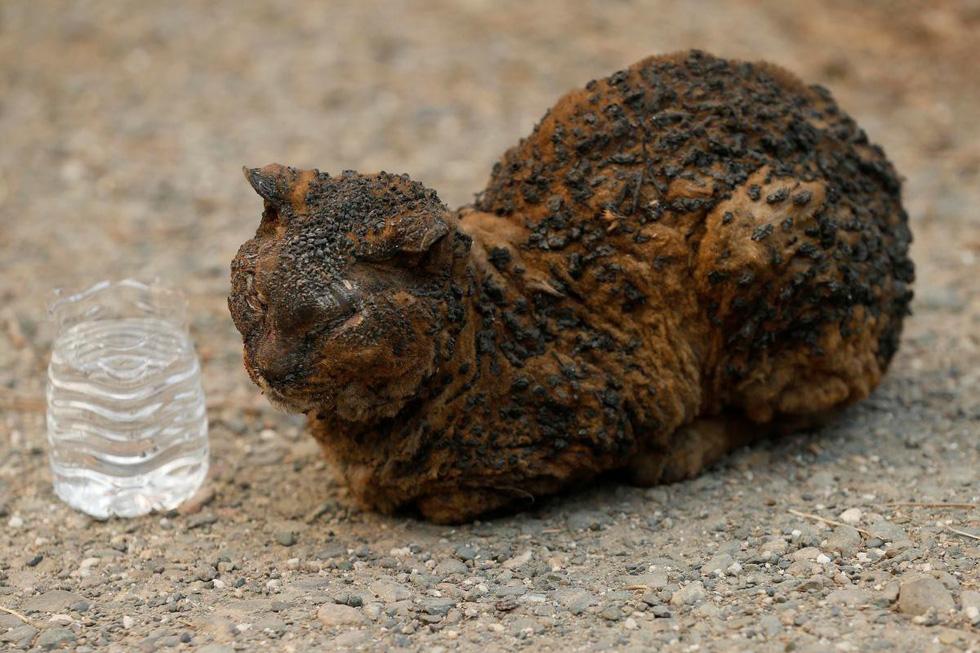 Đáng thương cảnh động vật cháy xém sau cháy rừng ở California - Ảnh 5.