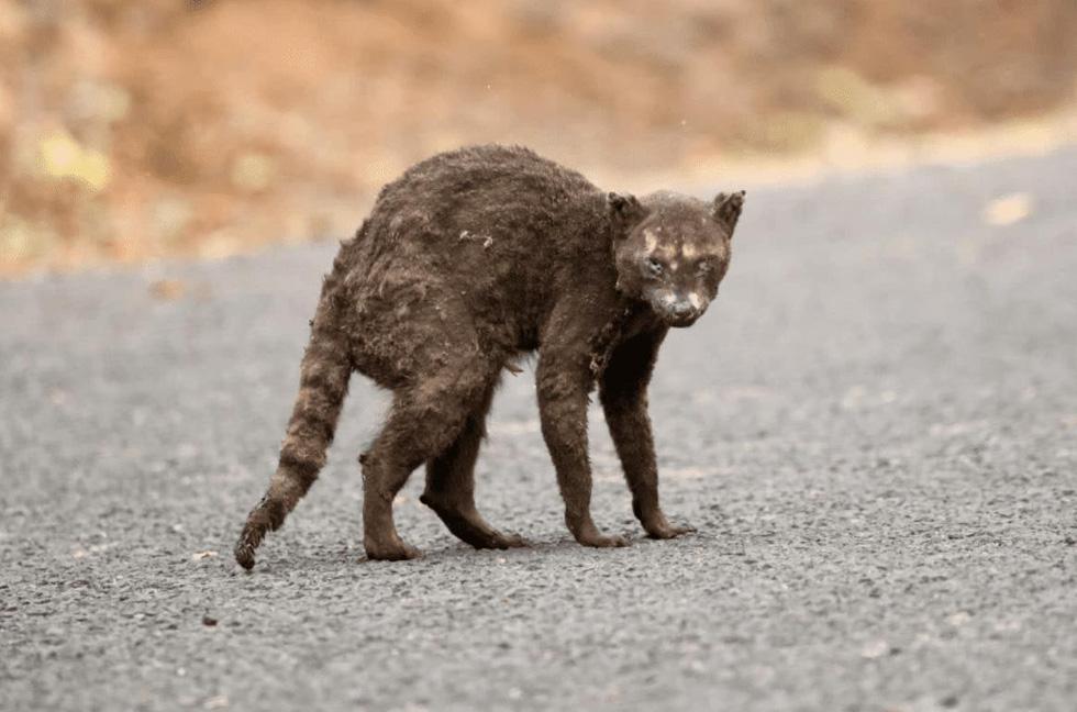 Đáng thương cảnh động vật cháy xém sau cháy rừng ở California - Ảnh 8.