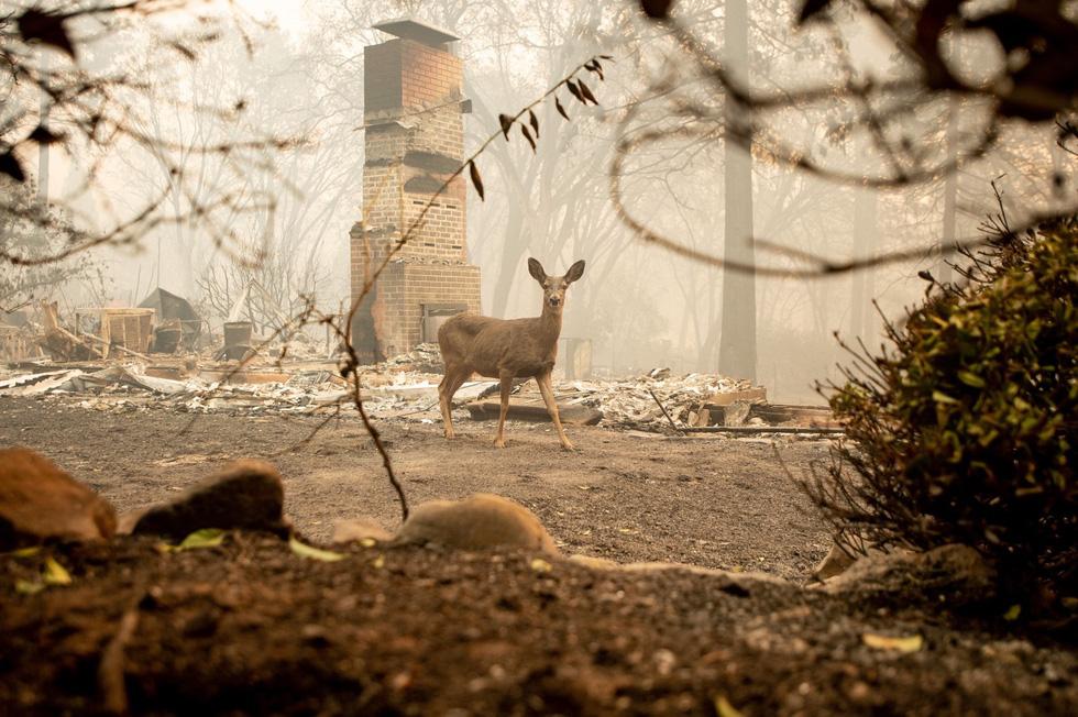 Đáng thương cảnh động vật cháy xém sau cháy rừng ở California - Ảnh 9.