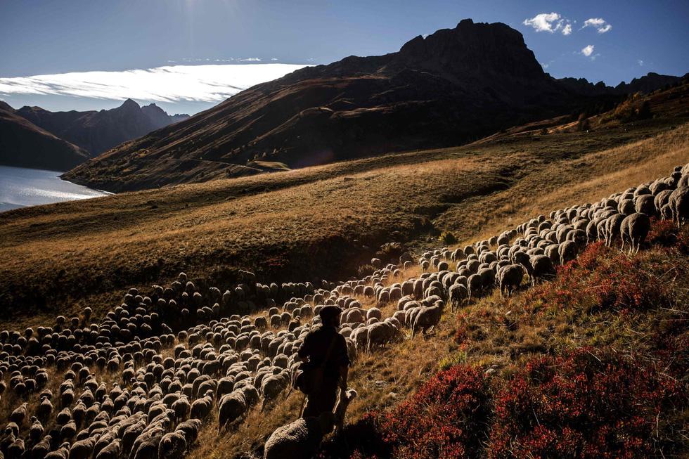 Theo chân người chăn cừu trên vùng đồng cỏ núi Alps - Ảnh 1.