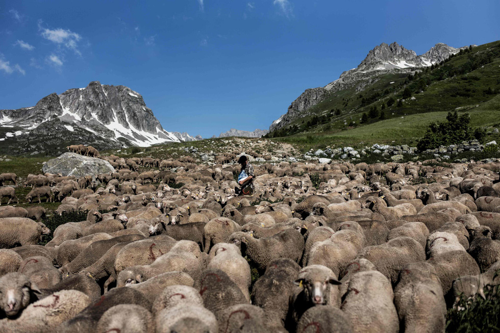 Theo chân người chăn cừu trên vùng đồng cỏ núi Alps - Ảnh 2.