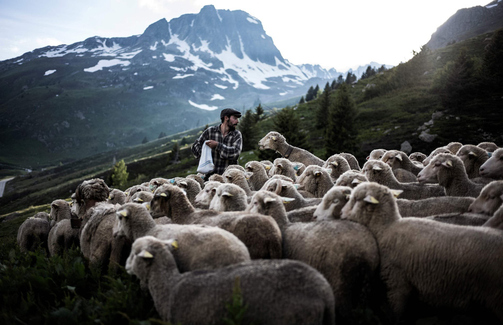 Theo chân người chăn cừu trên vùng đồng cỏ núi Alps - Ảnh 3.