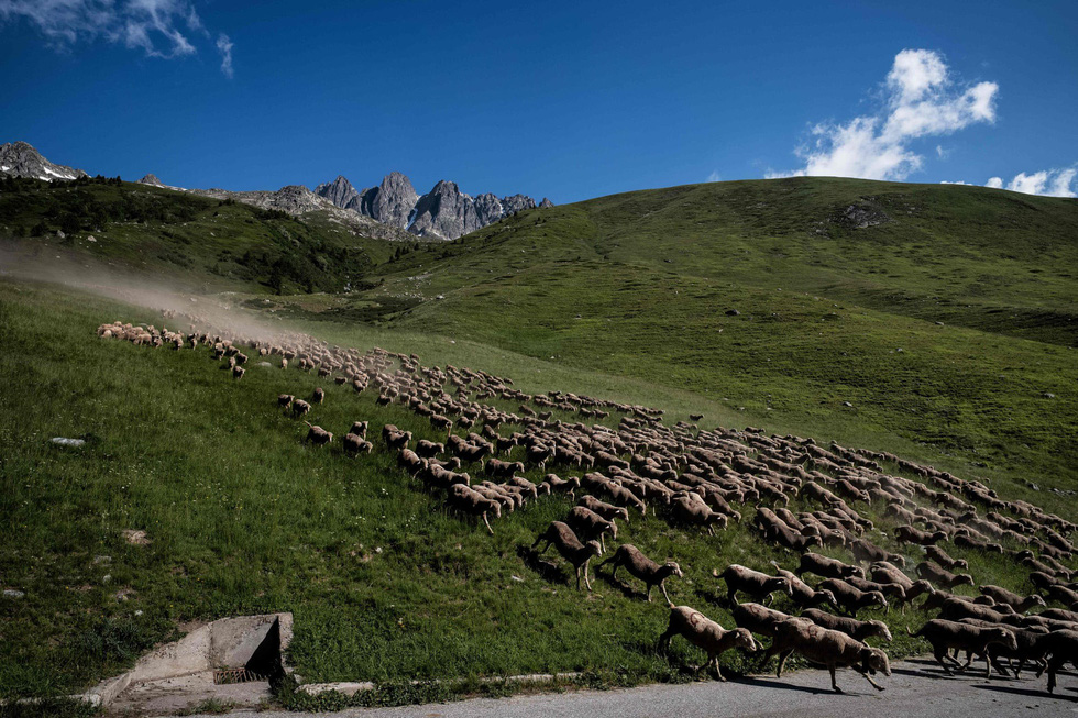 Theo chân người chăn cừu trên vùng đồng cỏ núi Alps - Ảnh 4.
