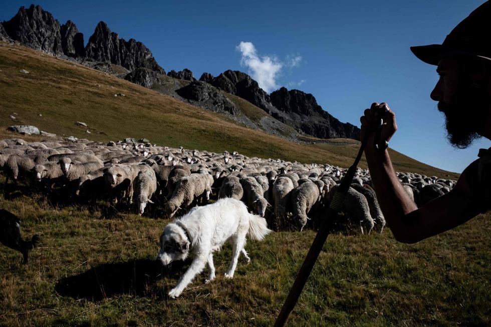 Theo chân người chăn cừu trên vùng đồng cỏ núi Alps - Ảnh 10.