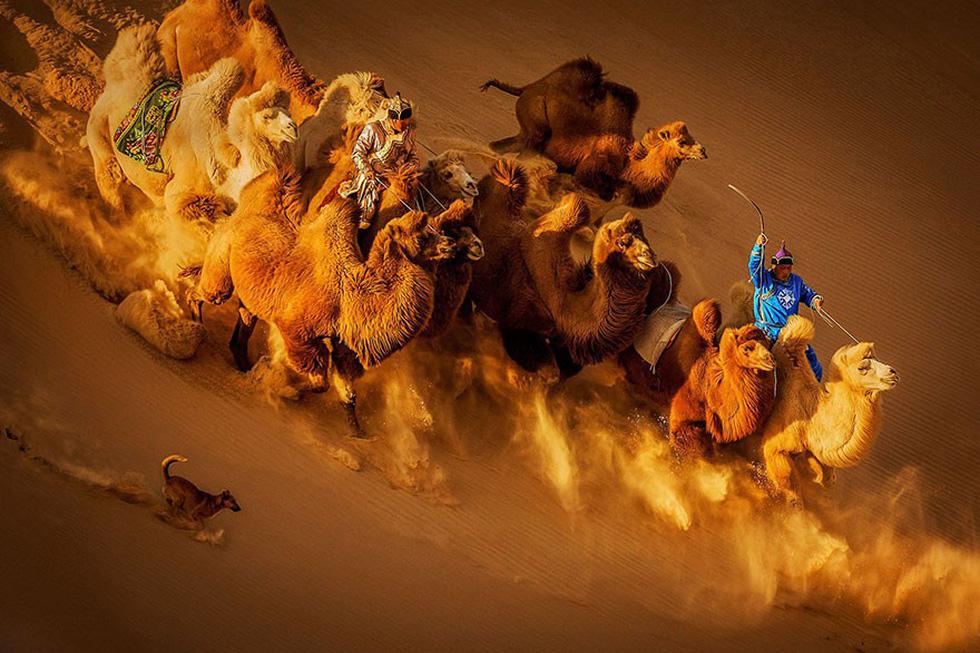 Lạc đà trên sa mạc, Mông Cổ - giải nhì hạng mục Màu sắc tổng thể