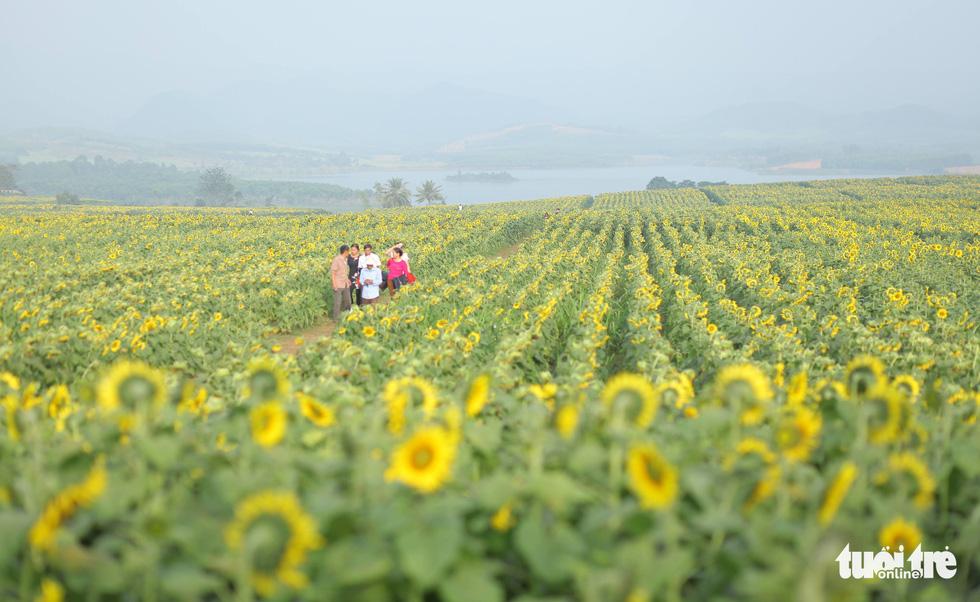 Lạc bước giữa cánh đồng hoa hướng dương ở Nghệ An - Ảnh 2.