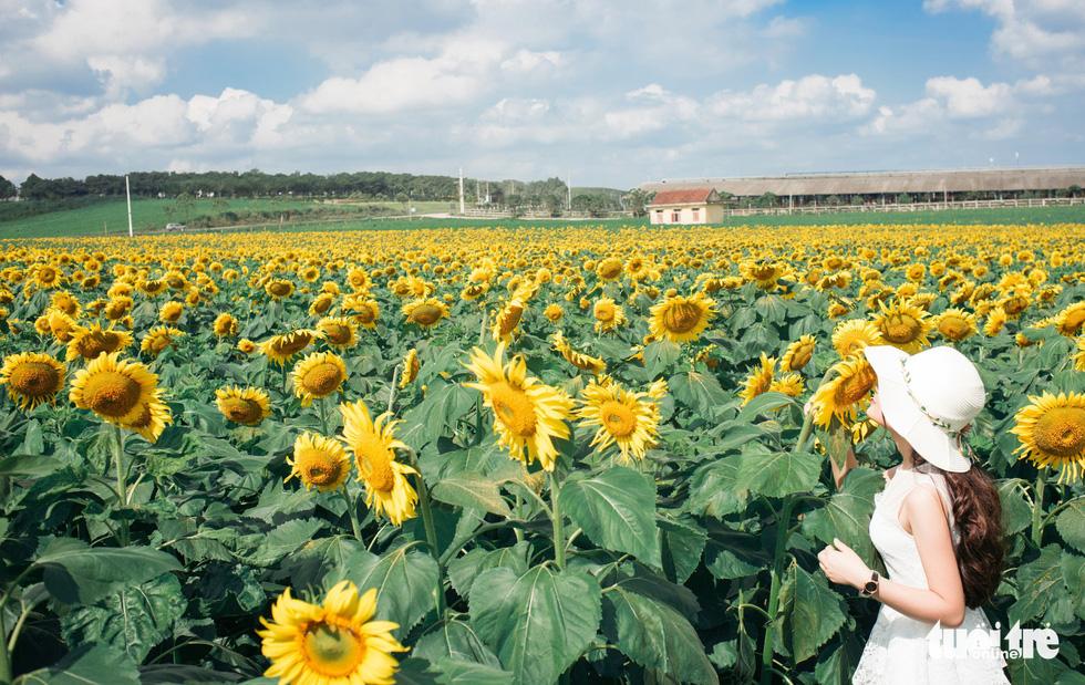 Lạc bước giữa cánh đồng hoa hướng dương ở Nghệ An - Ảnh 5.
