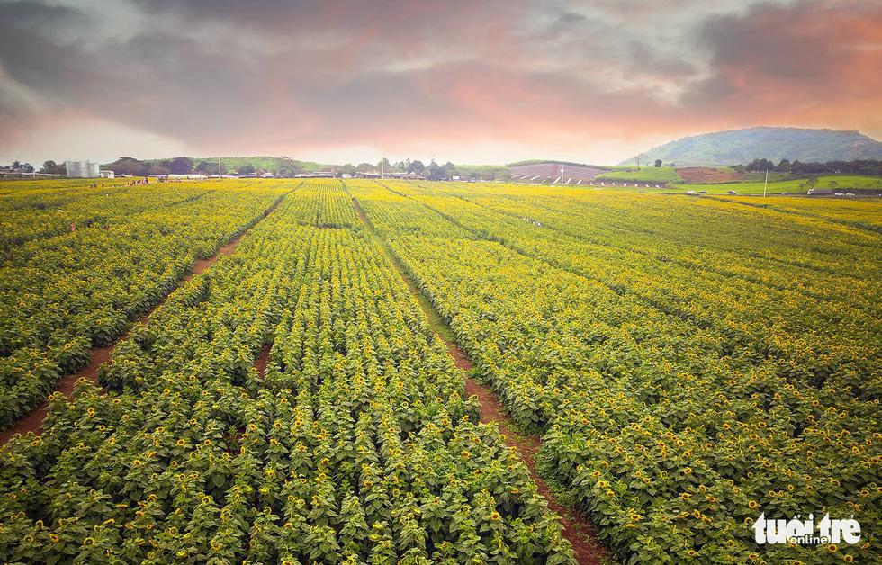 Lạc bước giữa cánh đồng hoa hướng dương ở Nghệ An - Ảnh 6.