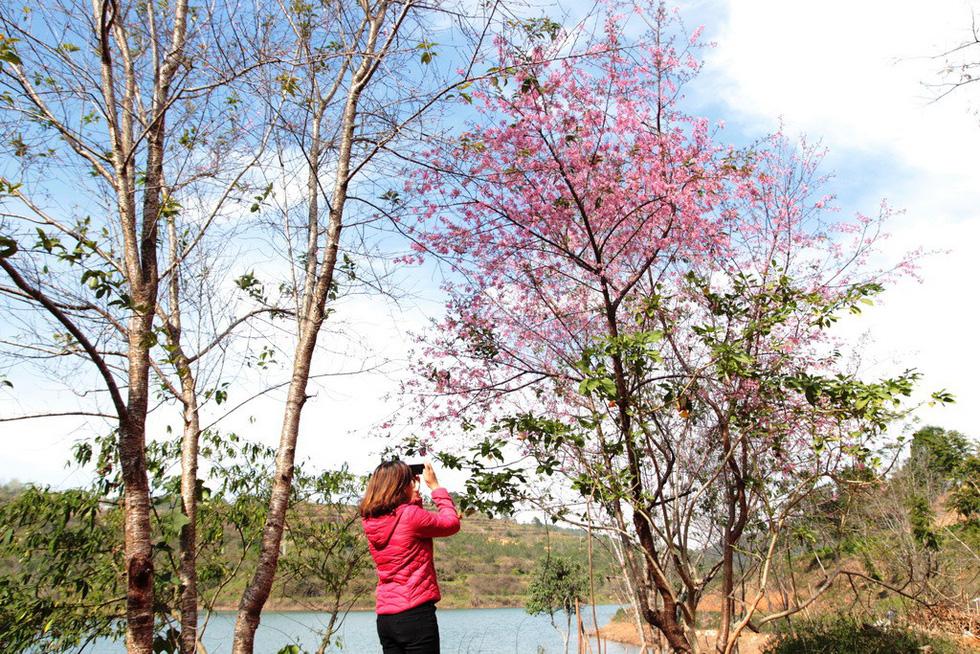 Lễ hội qua rồi mai anh đào hồ Tuyền Lâm mới nở rộ - Ảnh 2.