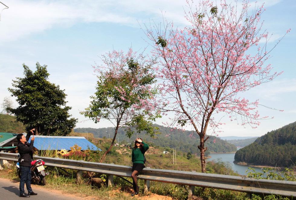 Lễ hội qua rồi mai anh đào hồ Tuyền Lâm mới nở rộ - Ảnh 6.