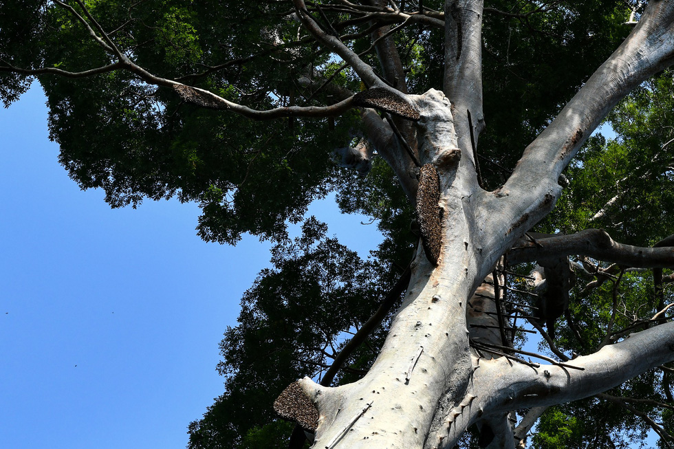 Săn mật ong trên những ngọn cây chọc trời ở Malaysia - Ảnh 2.