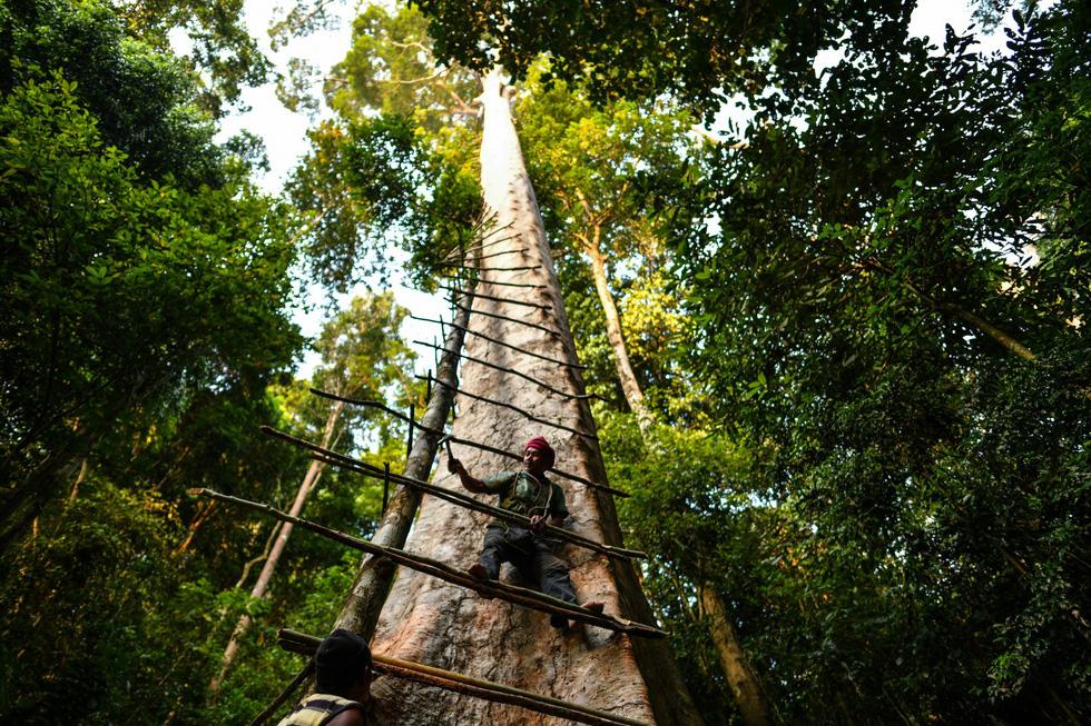 Săn mật ong trên những ngọn cây chọc trời ở Malaysia - Ảnh 8.