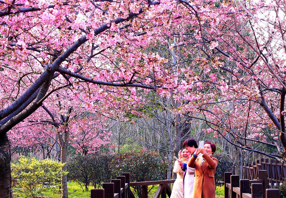 9 địa điểm để ngắm hoa anh đào bên ngoài Nhật Bản - Ảnh 9.