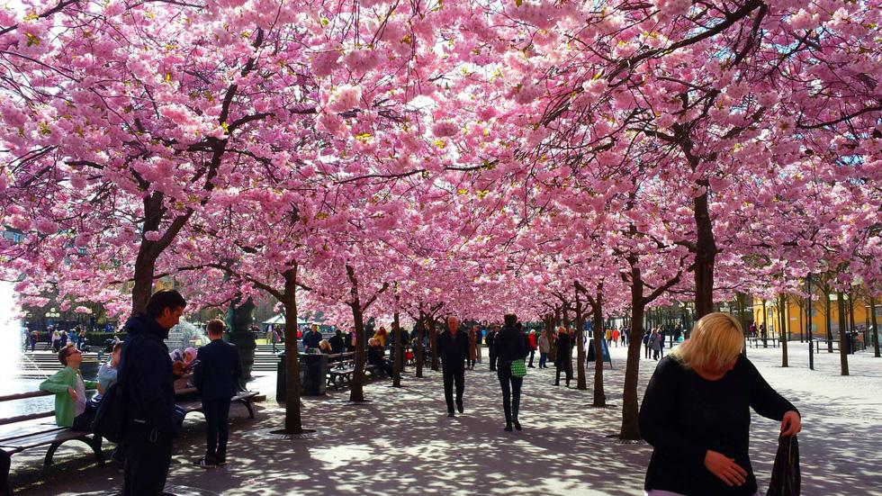 9 địa điểm để ngắm hoa anh đào bên ngoài Nhật Bản - Ảnh 6.