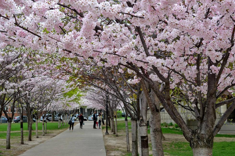 9 địa điểm để ngắm hoa anh đào bên ngoài Nhật Bản - Ảnh 3.