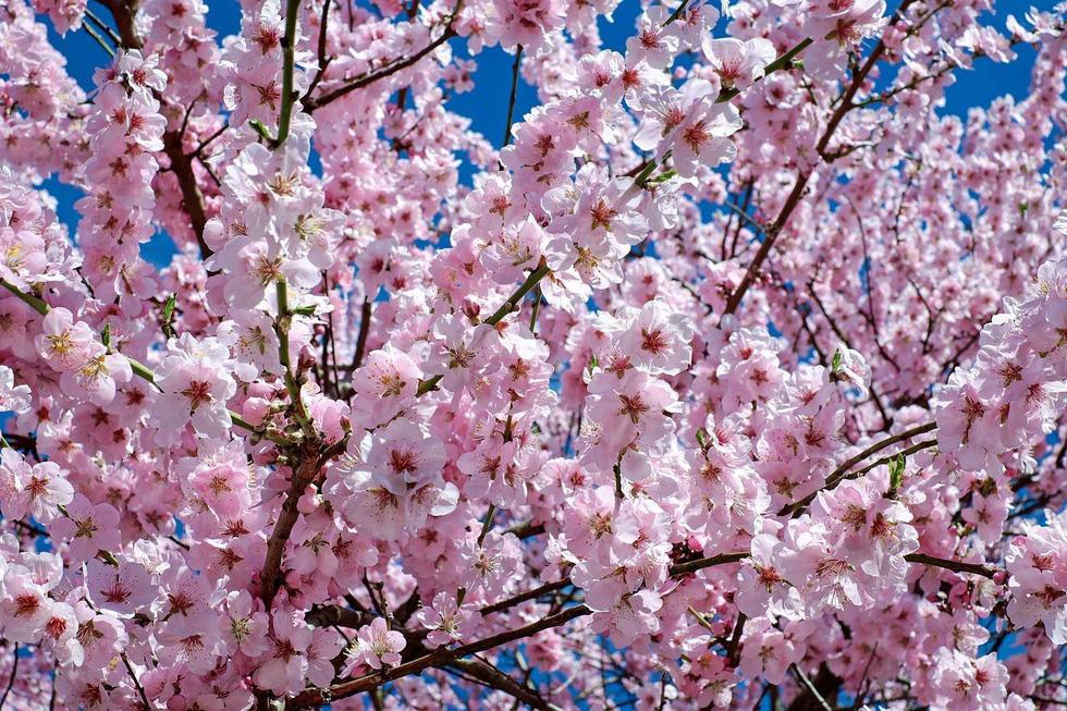 9 địa điểm để ngắm hoa anh đào bên ngoài Nhật Bản - Ảnh 8.