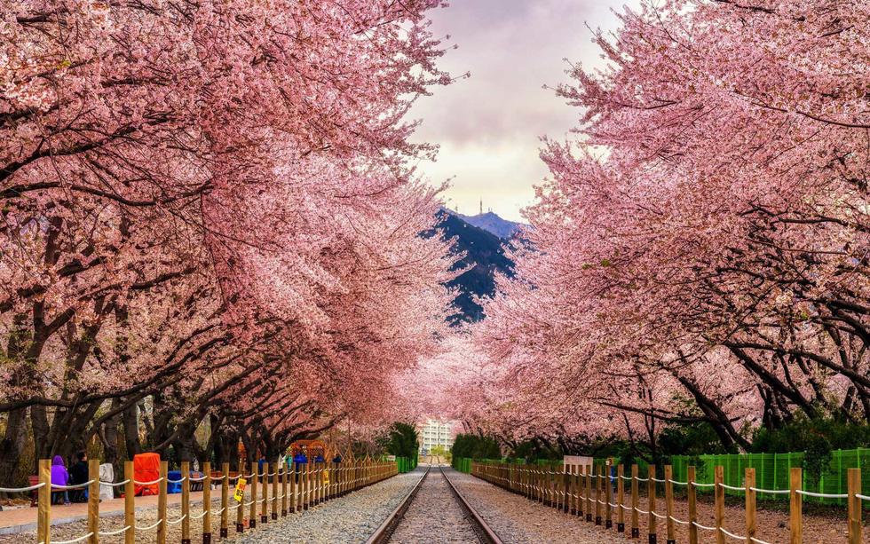9 địa điểm để ngắm hoa anh đào bên ngoài Nhật Bản - Ảnh 1.