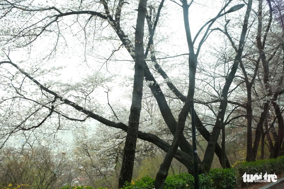 Hoa anh đào nở rợp trời hút hồn giới trẻ Seoul - Ảnh 12.