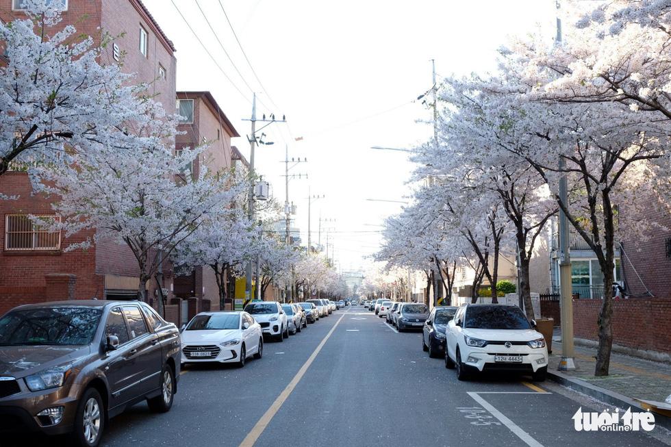 Hoa anh đào nở rợp trời hút hồn giới trẻ Seoul - Ảnh 13.