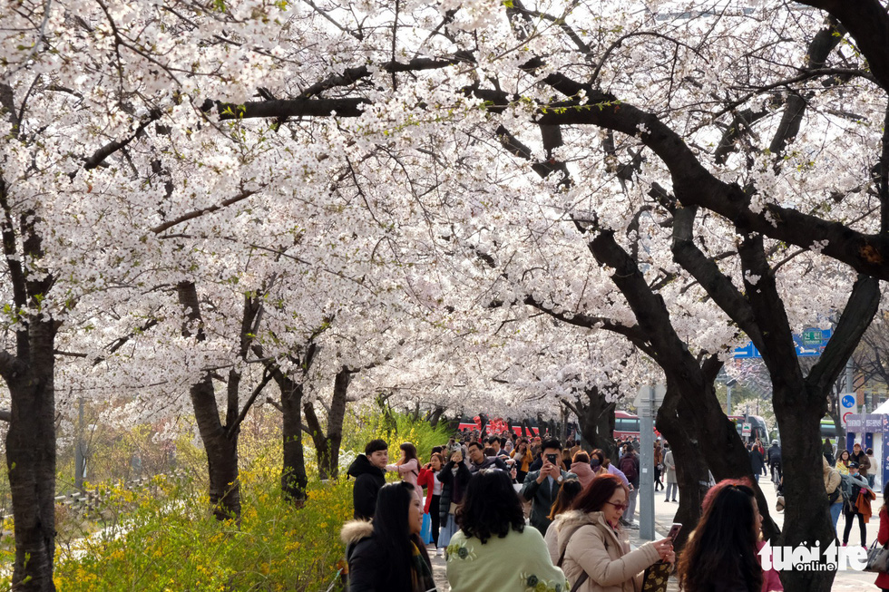 Hoa anh đào nở rợp trời hút hồn giới trẻ Seoul - Ảnh 14.