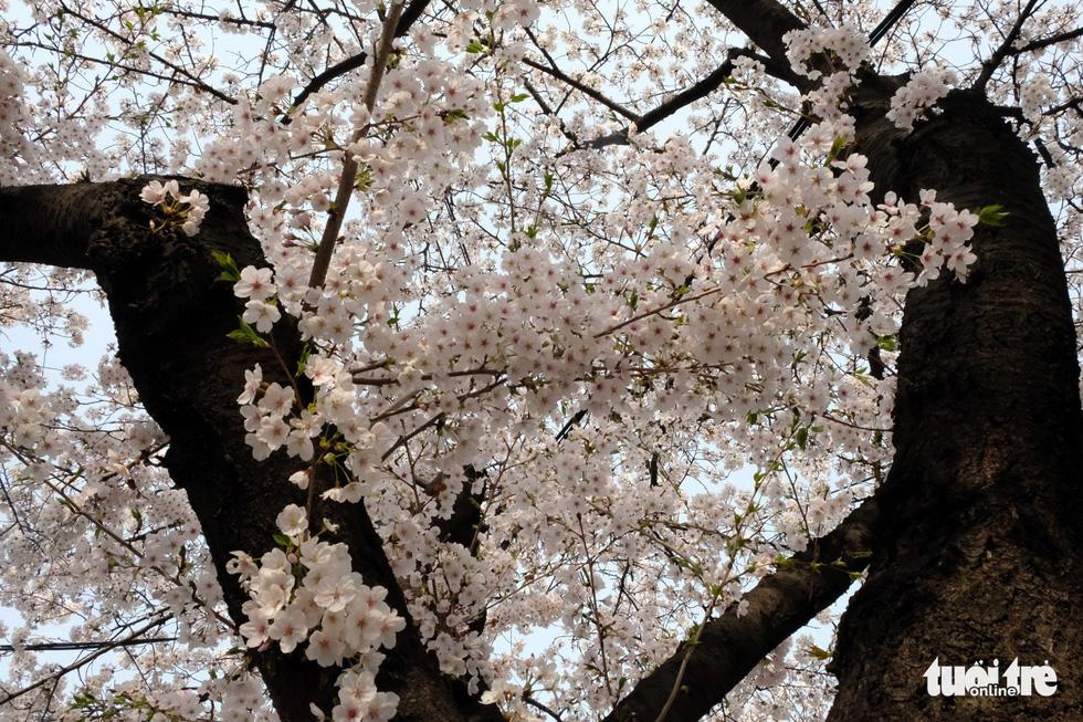 Hoa anh đào nở rợp trời hút hồn giới trẻ Seoul - Ảnh 15.