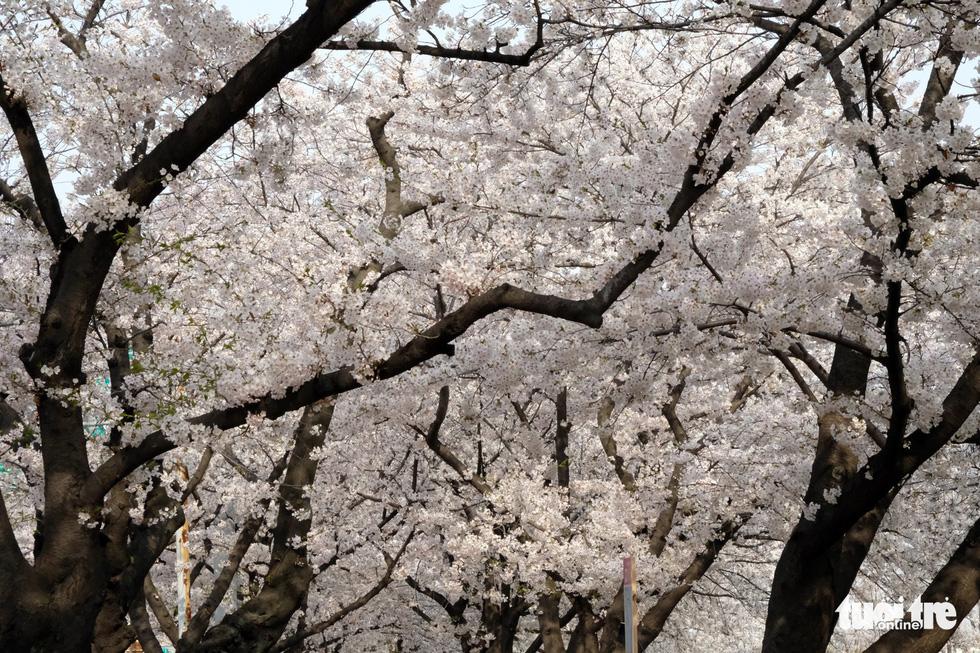 Hoa anh đào nở rợp trời hút hồn giới trẻ Seoul - Ảnh 16.