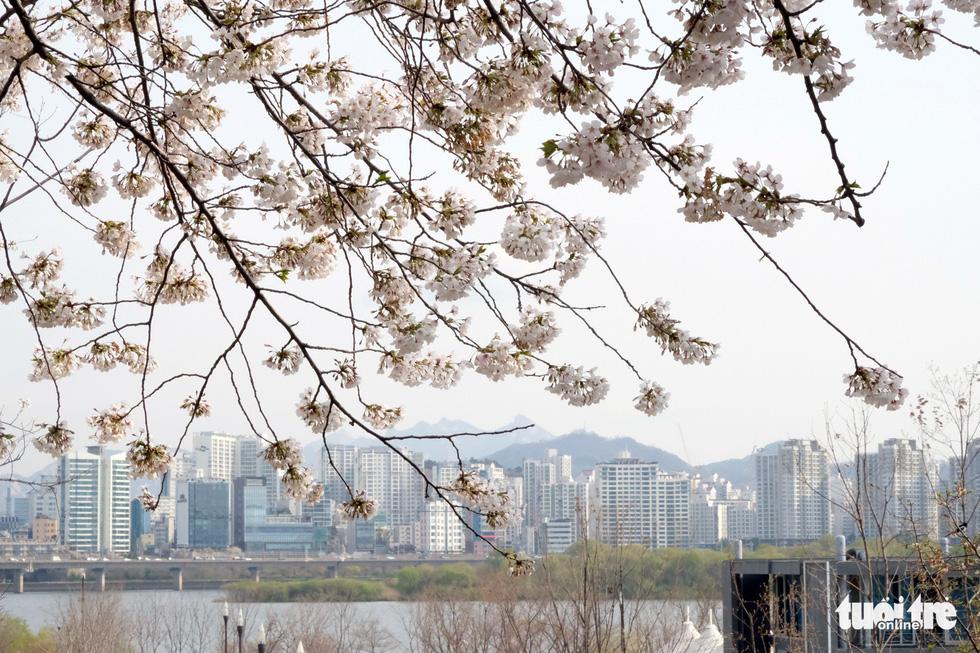 Hoa anh đào nở rợp trời hút hồn giới trẻ Seoul - Ảnh 17.