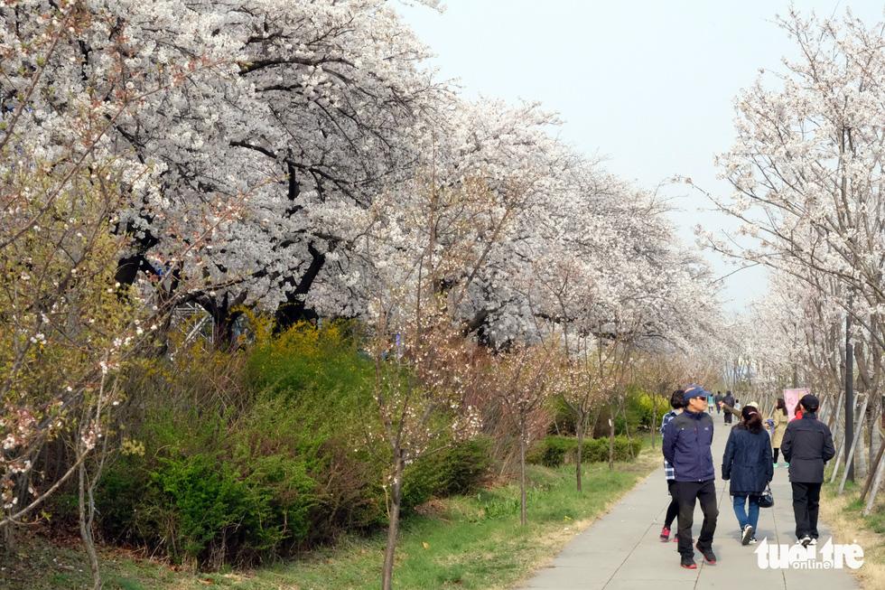 Hoa anh đào nở rợp trời hút hồn giới trẻ Seoul - Ảnh 18.