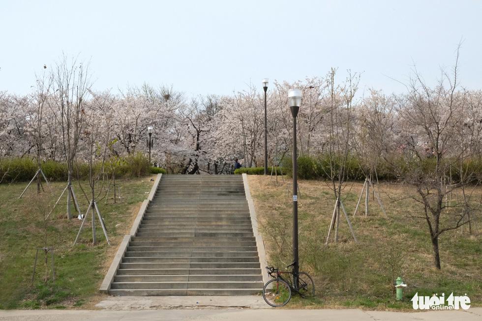 Hoa anh đào nở rợp trời hút hồn giới trẻ Seoul - Ảnh 19.