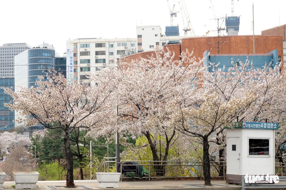 Hoa anh đào nở rợp trời hút hồn giới trẻ Seoul - Ảnh 1.