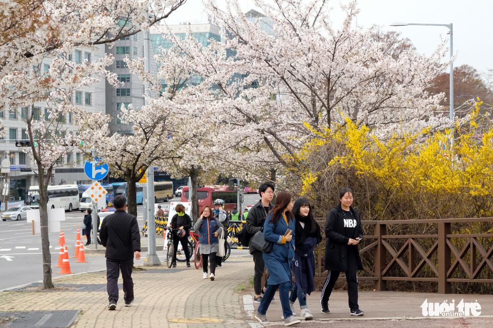 Hoa anh đào nở rợp trời hút hồn giới trẻ Seoul - Ảnh 2.