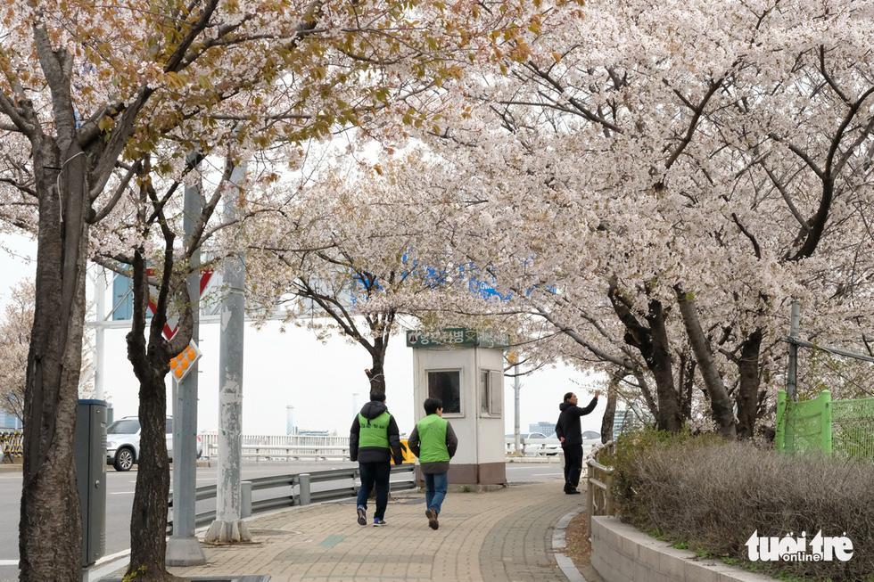 Hoa anh đào nở rợp trời hút hồn giới trẻ Seoul - Ảnh 3.