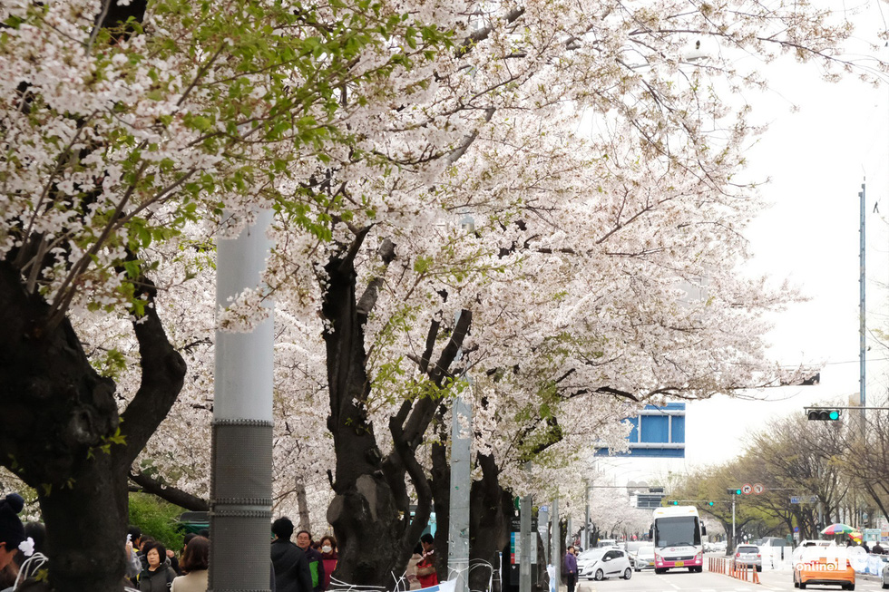 Hoa anh đào nở rợp trời hút hồn giới trẻ Seoul - Ảnh 4.
